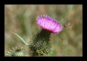 hoverfly1 by 21711