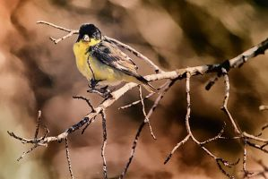 South Texas Lesser Goldfinch by clippercarrillo
