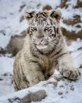 Blue Eyed Baby Tiger by spike83