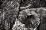 Suckling Elephant by LinRuPhotography