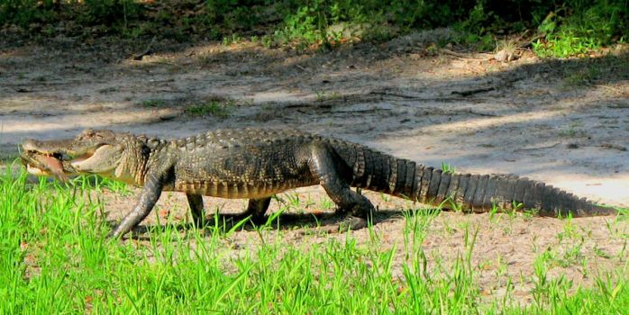 Alligator with Fish by PhotoDavid1957