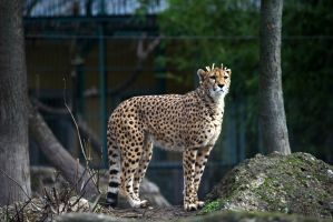 Cheetah VI by Vanell-Photography