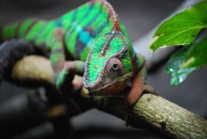 Panther Chameleon by ManitouWolf