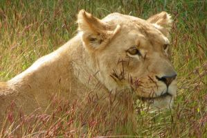 Lioness of the Grasslands by DingoDogPhotography
