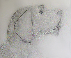 German wirehaird pointer by gir-is-me