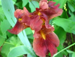 brown iris by crazygardener