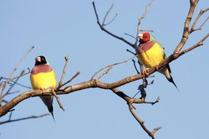 Gouldian Finches by JeremyRingma