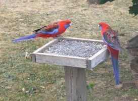 Scarlet Rosellas by ricken4003