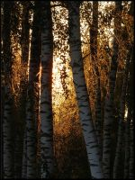 Some birches... by Yancis