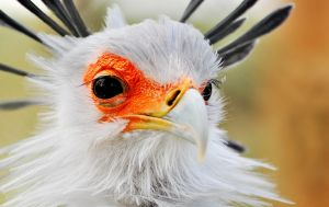 secretary bird by aimforthefloor