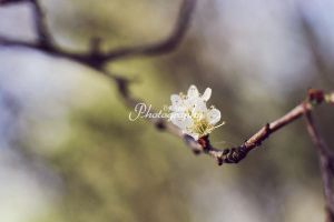 Blossoms II by AniekPhotography
