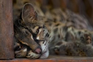 Sleepy Margay by robbobert