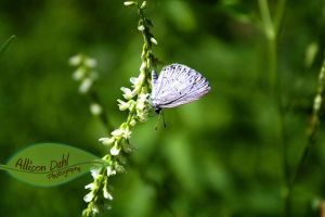 Purple Buttefly by AllisonDahl