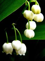 lily of the valley 2 by teenyb
