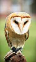 Barn owl by Csipesz