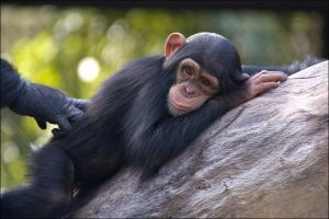 Young Chimp 021508 by hoboinaschoolbus