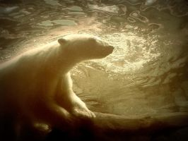 polar bear 4 by LBBPhotography