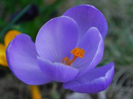 crocus 2 by GrnDrgn