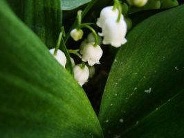lily of the valley III by Mierzeja