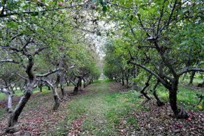 Little Tree Orchards Newfield, NY by MireInHypocrisy