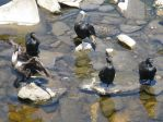 Double-crested Cormorants by wandering-fox