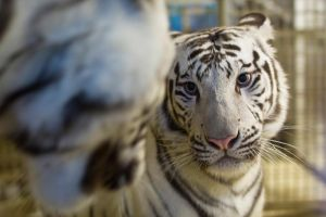 6609 - White tigers by Jay-Co