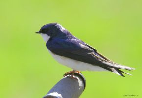 Tree Swallow Portrait by natureguy