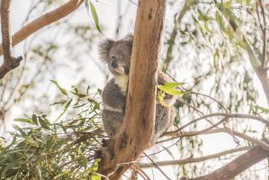 Koala Buddy. by AmyPatonPhotography