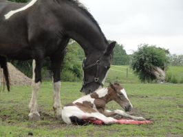 Newborn Chestnut Tobiano Foal by Horselover60-Stock