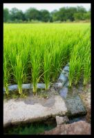 Rising Rices by PixyPen