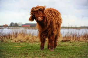 Highland Cattle by JoostvanD
