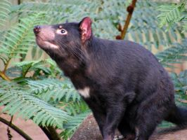 Tasmanian Devil by AtomicBrownie