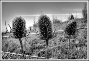 Three Teasels... by TheBaldingOne