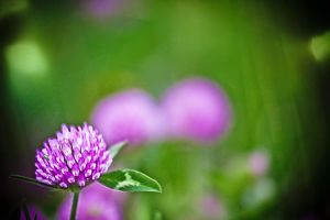 Pink Clover Fields Macro by Witch-Dr-Tim