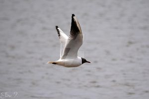 Seagull by roxmohr