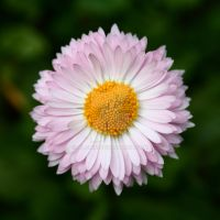 Daisy perfection by Alonir
