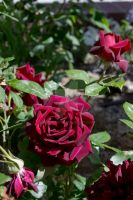 Red Roses by Elle-Arden