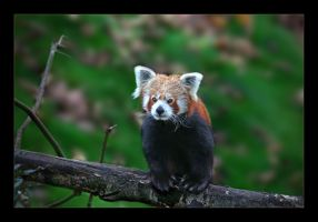 Red Panda by kodo34
