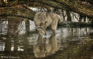 wolf reflection by Yair-Leibovich