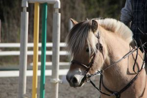 Fjord Horse 3 by Chance-STOCK
