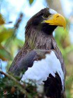 Steller's Sea-Eagle by AzureWindProductions