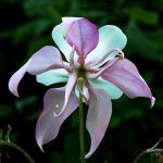 Columbine's Backside by EarthHart