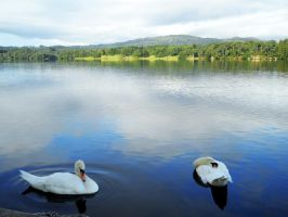 Swans of the Lake District by A-RaeDArc