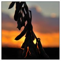Soy at Sunset by Beerends