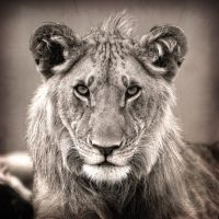 Lion in Black and white by 00Tiger00