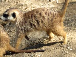 Meercat 6 by my-dog-corky