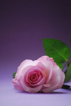 Beauty of a rose by Tricia-Danby