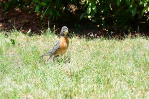 Baby Robin, Looking by Miss-Tbones
