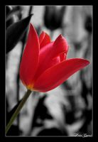 Red Flower by PtiteCocci
