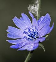 Chicory flower (2) by An-Drake